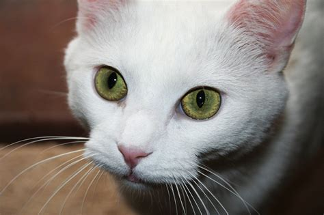 Khao Manee Cat Info, History, Personality, Care, Kittens