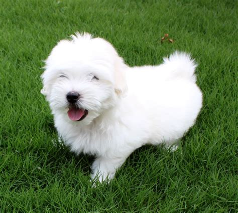 Coton De Tulear Dog Breed - Pictures, Information