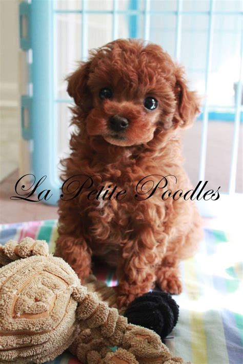 1000+ images about Adorable Poodles on Pinterest   French