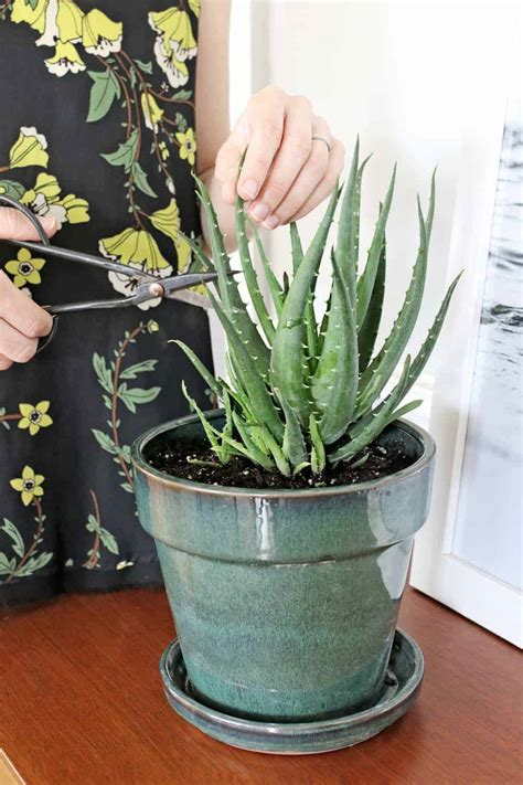 How to Harvest Aloe Vera + What To Do With It   Hello Glow