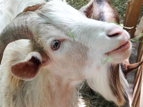 ZooPic - Goat picture