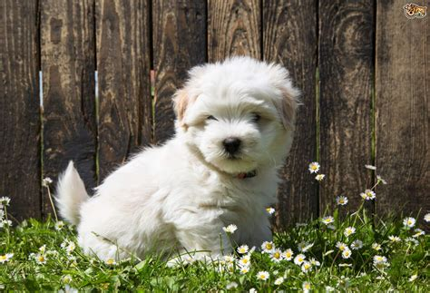 Coton De Tulear Dog Breed | Facts, Highlights & Buying